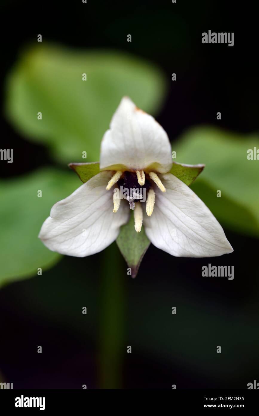 Trillium sulcatum, Regenbogen-Wakerobin, weiße Blumen, Blüte, Schatten, schattig, schattig, Waldländer, Waldländer, Holz, Waldgarten, Gärten, RM Floral Stockfoto