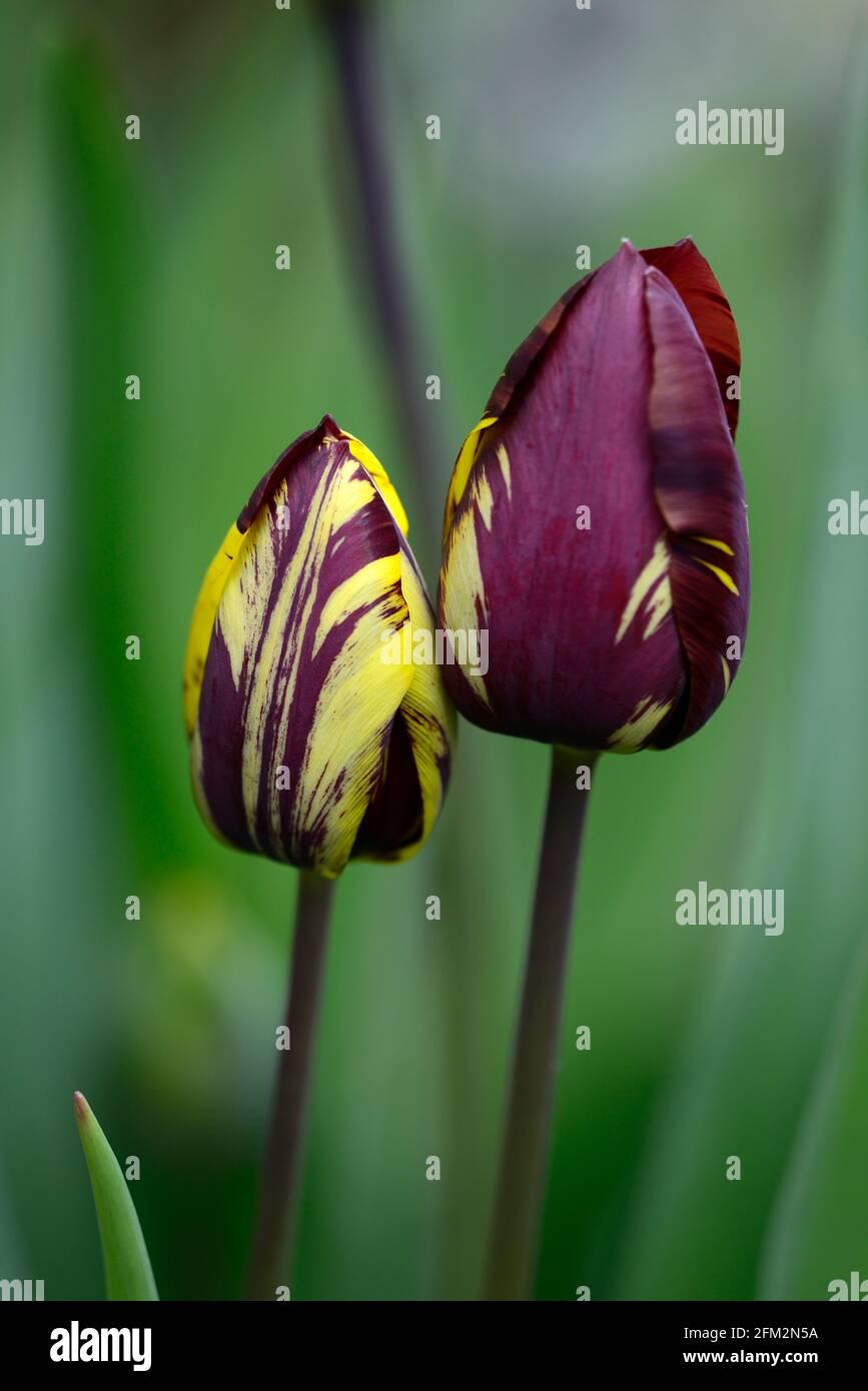 Tulipa Absalon,Tulipa Absalon rembrandt,gebrochene Tulpe,Tulip Breaking Virus,geflammte Markierungen,markiert,viral,Virus,Pflanzenvirus,Purpurrot Auf gelbem Hintergrund Stockfoto