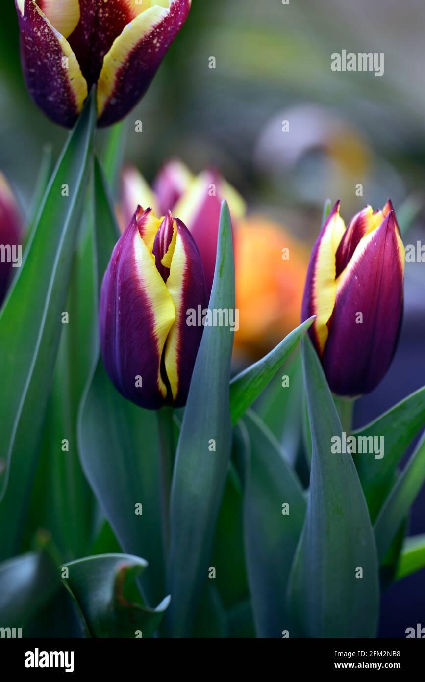 Tulipa Gavota, Tulpengavota, Triumphtulip, dunkles Mahagoni-Rot mit einer Creme und Zitrone Rand, Tulpen, Tulpe, blühend, Frühling, Birnen, Triumph blühende Tulpen, RM Stockfoto