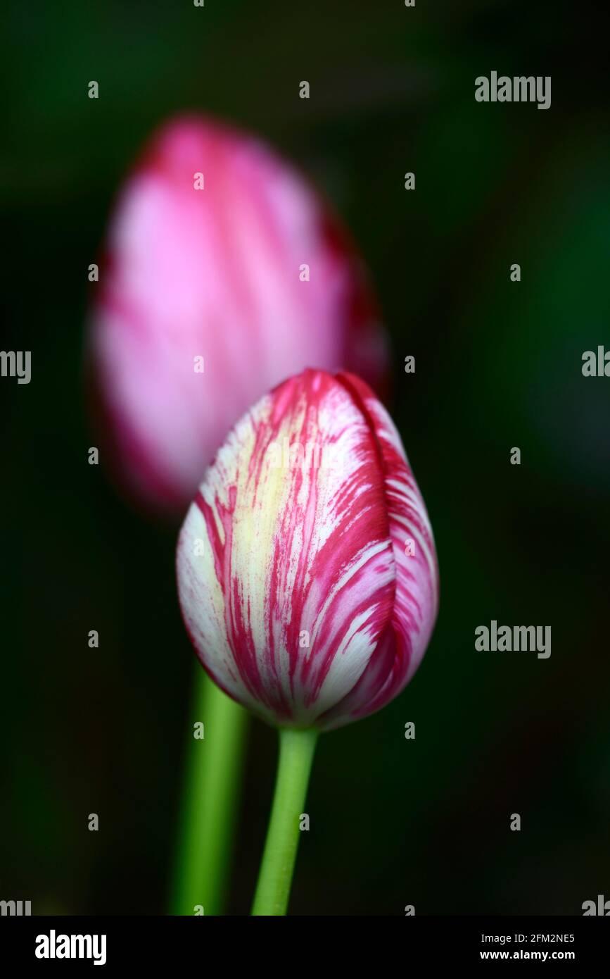Tulipa Rubella, Tulipa Rubella rembrandt, englischer Blumenhändler Tulpe, gebrochene Tulpe, Tulip Breaking Virus, geflammte Markierungen, markiert, viral, Virus, Pflanze Virus, rosa pu Stockfoto