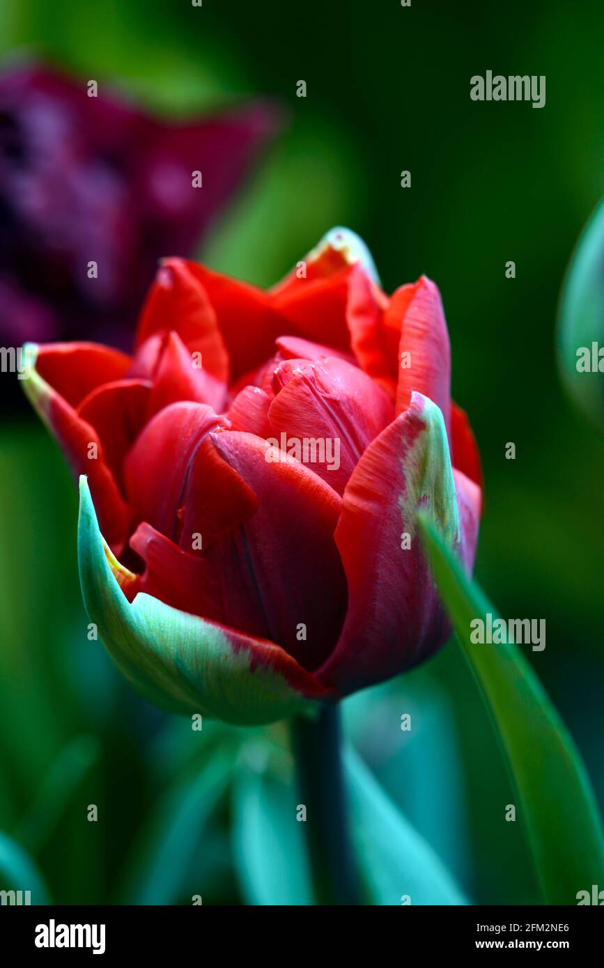 tulipa rote Prinzessin, tulipa antraciet, Weinrot, tiefes Rot, magentarot, doppelte Tulpen, doppelte blühende Tulpen, Pfingstrosen blühende Tulpen, Frühling im Garten, Stockfoto
