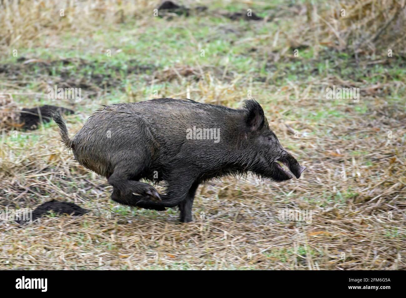 Gejagter Wildschwein (Sus scrofa) Während des Battues über das Feld laufen/fliehen Stockfoto