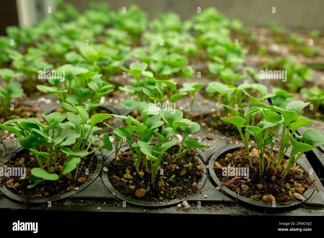 Nahaufnahme von Reihen kleiner grüner Keimlinge, die in Schwarz wachsen Container im Gewächshaus Stockfoto