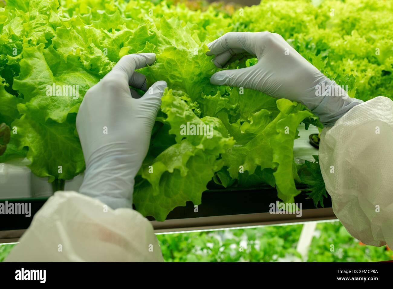 Nahaufnahme eines nicht erkennbaren Planthouse-Arbeiters in Latexhandschuhen, die das Blatt berühren Salat auf dem Regal Stockfoto