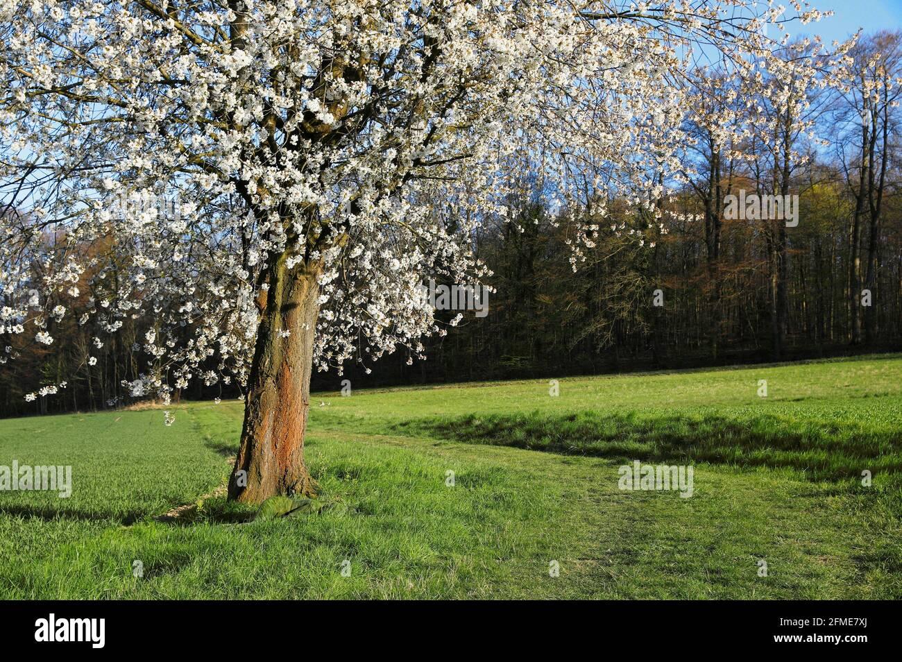 Naturkunst: Kirschblütenphotoshooting mit Modell Lana als Grasbowpainting im Groeninger Feld in Hameln, am 5. Mai 2021 - Bodypainting Künstler: Jörg Duesterwald Stockfoto