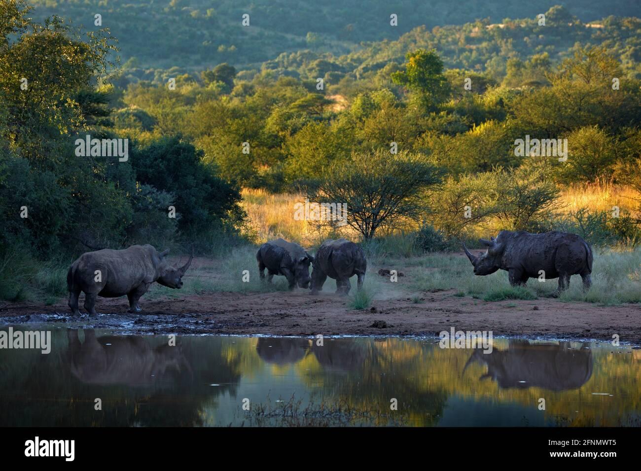 Nashorn im Pilanesberg NP, Südafrika. Weißes Nashorn, Ceratotherium simum, großes Tier in der afrikanischen Natur, in der Nähe des Wassers. Wildtierszene Fr. Stockfoto