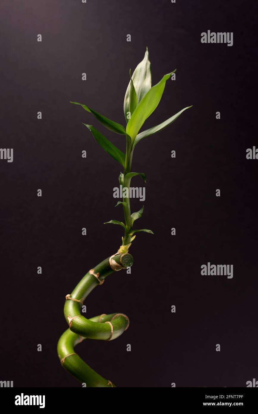 Green Lucky Bamboo oder Dracena Houseplant aus der Nähe vor dem schwarzen Hintergrund. Stockfoto