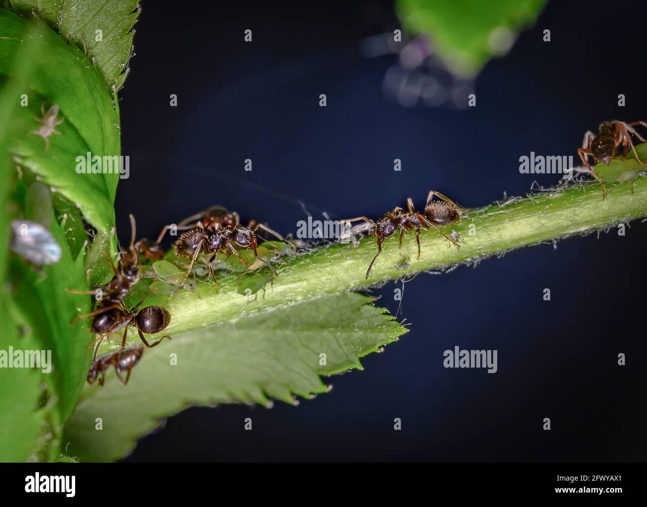Ameisen kirschbaum am und blattläuse Blattläuse mit