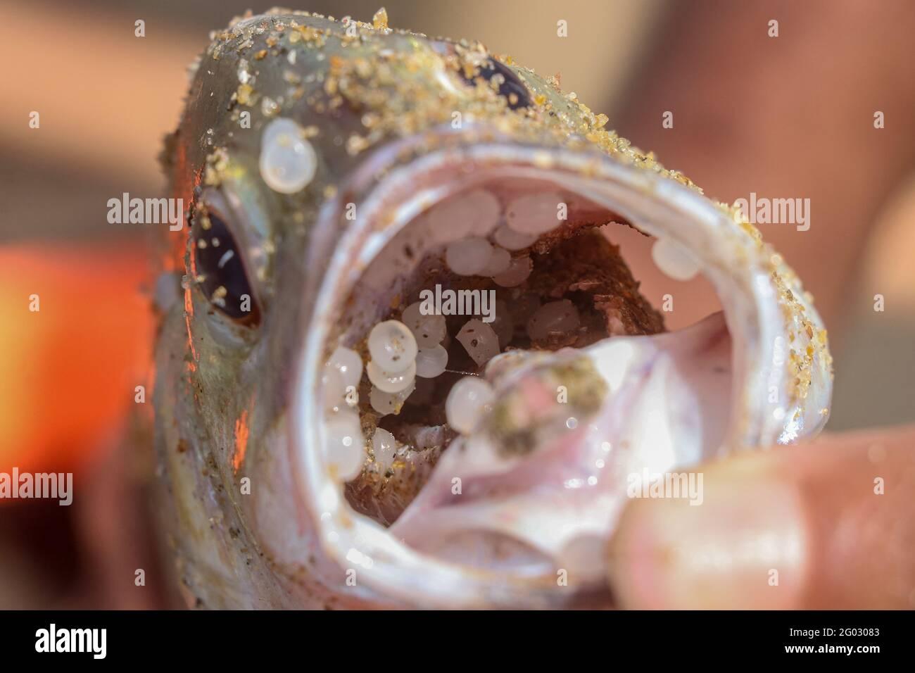 Colombo, Sri Lanka. Mai 2021. Ein toter Fisch, der am Strand in der Nähe von Wellawatta in Colombo an Land gewaschen wurde, dessen Mund mit Plastikmüll angeblich vom singapurischen Schiff MV X-Press Pearl, das letzte Woche in der Nähe des Hafens von Colombo in Brand geraten war, ins Meerwasser gelangt sein soll. (Foto: Saman Abesiriwardana/Pacific Press) Quelle: Pacific Press Media Production Corp./Alamy Live News Stockfoto
