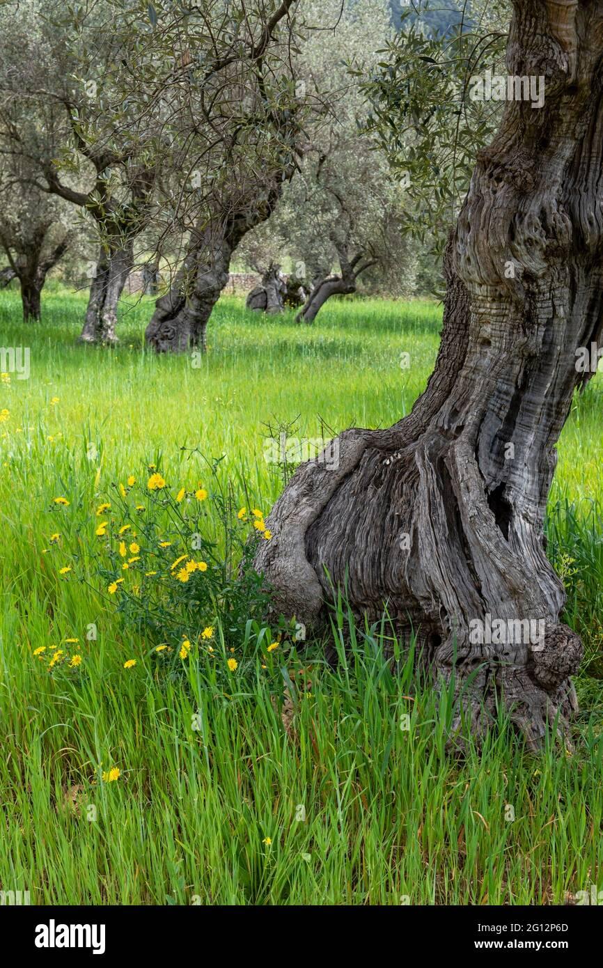 Hundertjährige Olivenbäume von Alqueria d´Avall, Bunyola, Mallorca, Balearen, Spanien. Stockfoto