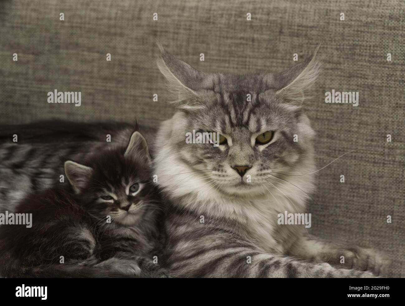 Eine Erwachsene Katze mit einem Kätzchen liegt zusammen Stockfoto