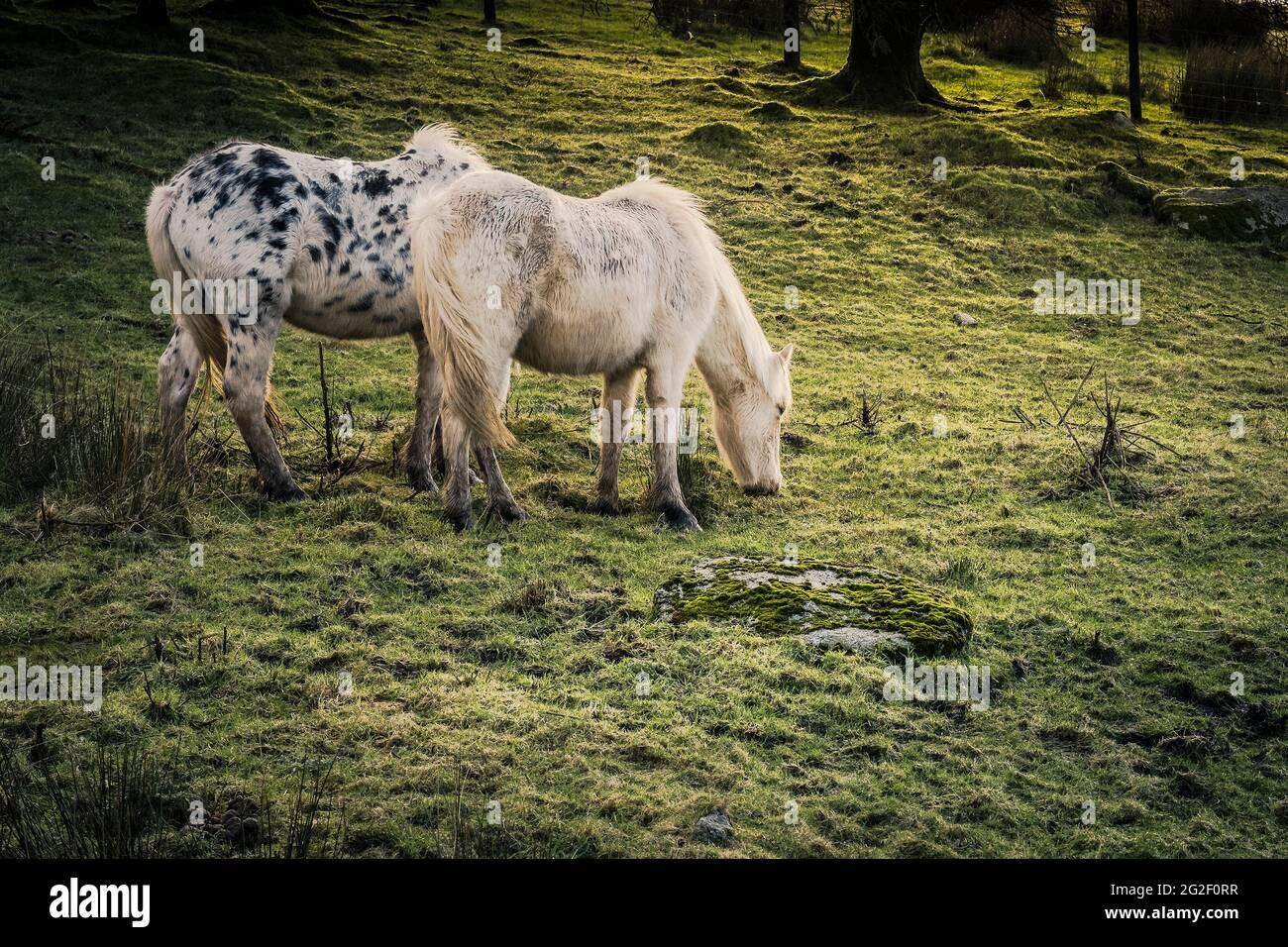 Ikonische wilde Bodmin Ponys grasen auf Bodmin Moor in Cornwall. Stockfoto