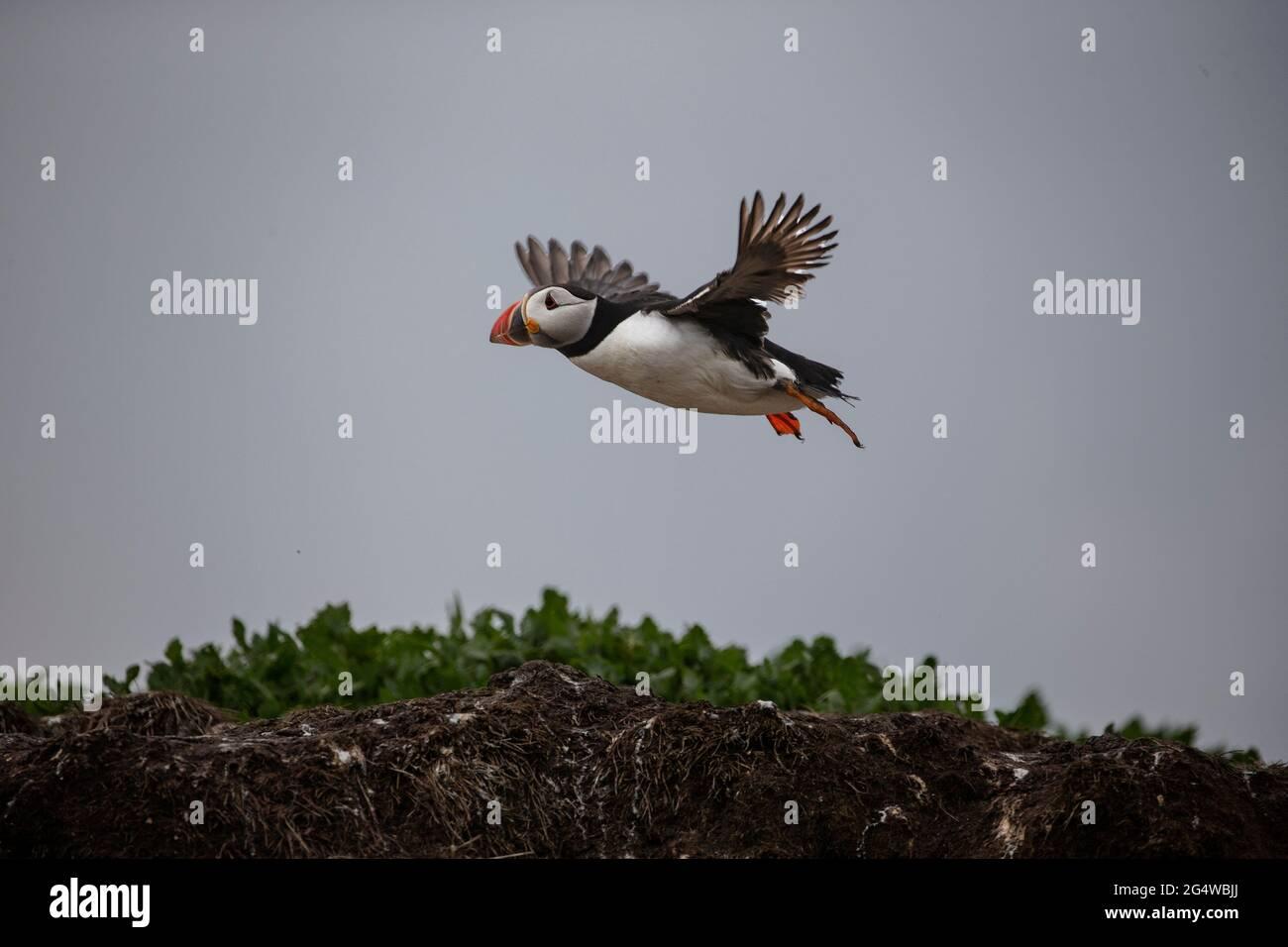 Der Atlantische Papageientaucher Fraterkula Arctica kommt während der Brutsaison in Northumberland, England, auf der Insel Inner Farne an Land Stockfoto