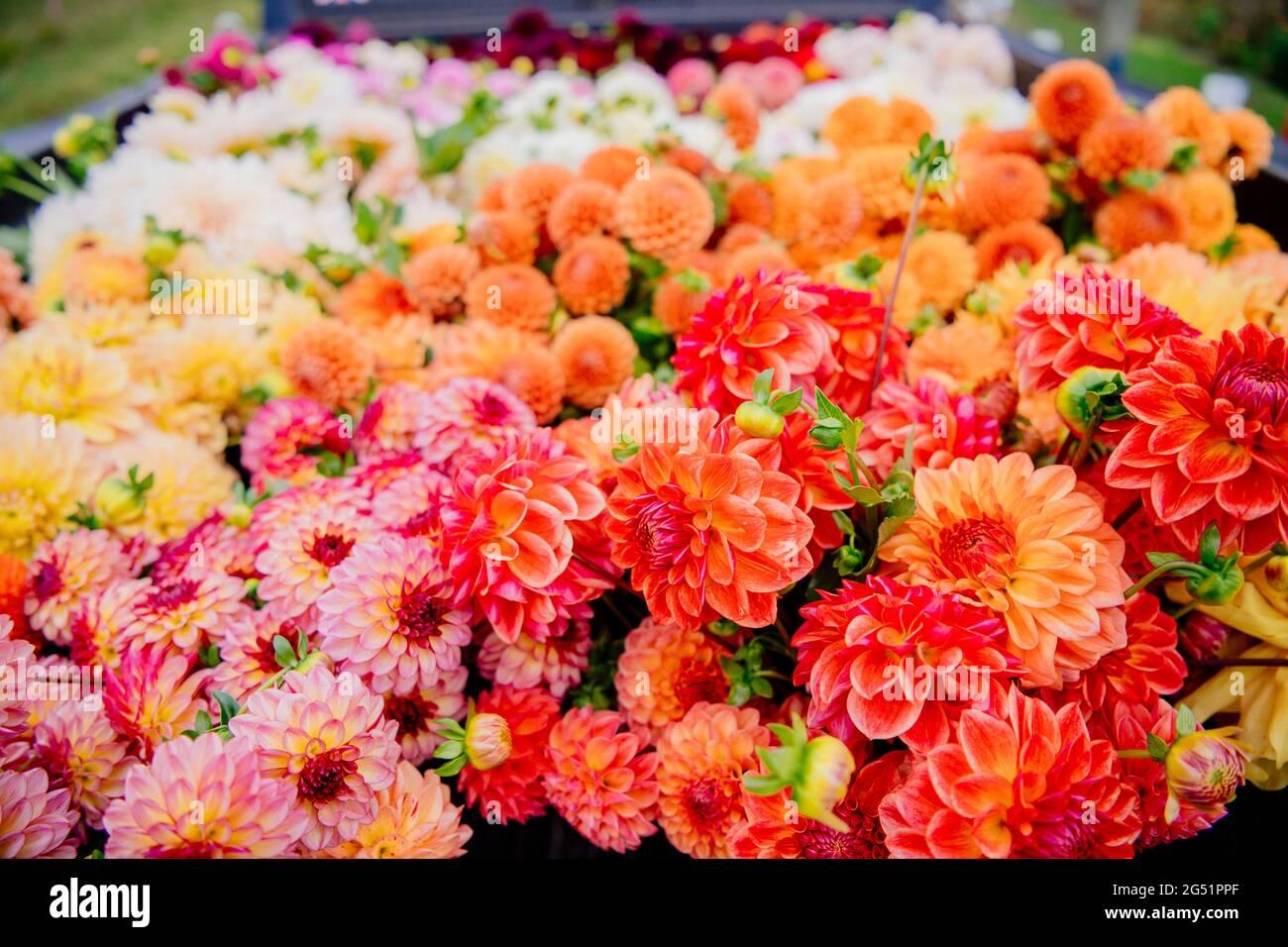 Viele Dahlia Blumen auf der Rückseite des LKW Stockfoto