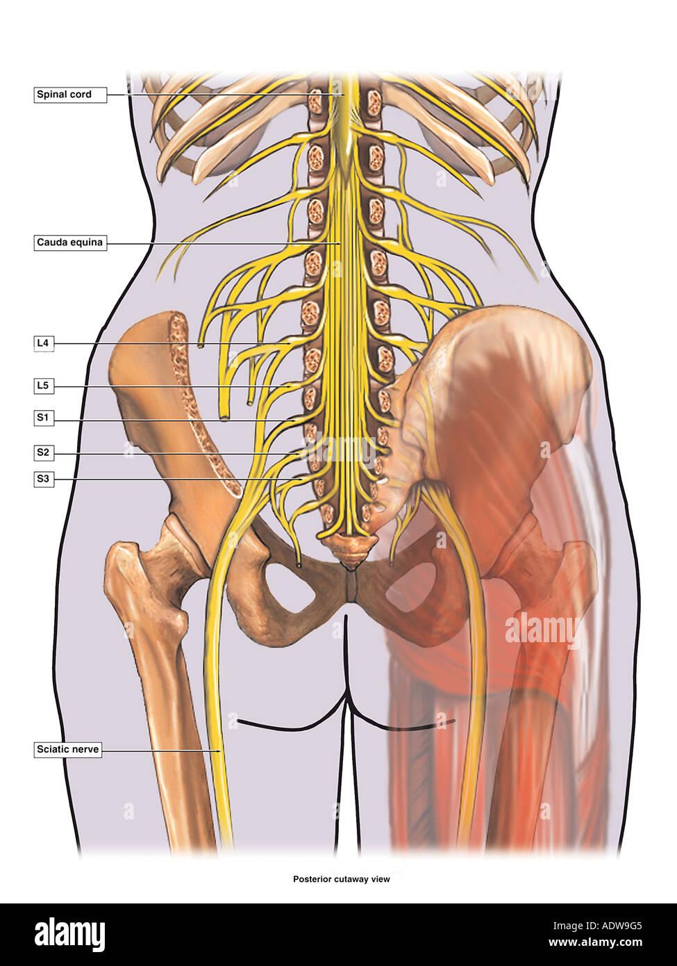Anatomie Des Nervus Ischiadicus Stockfoto Bild 7712708 Alamy