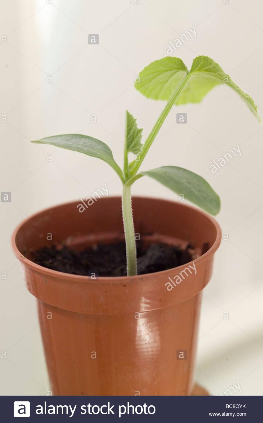 Young Butternut Kurbis Pflanze Stockfoto Bild 24772039 Alamy