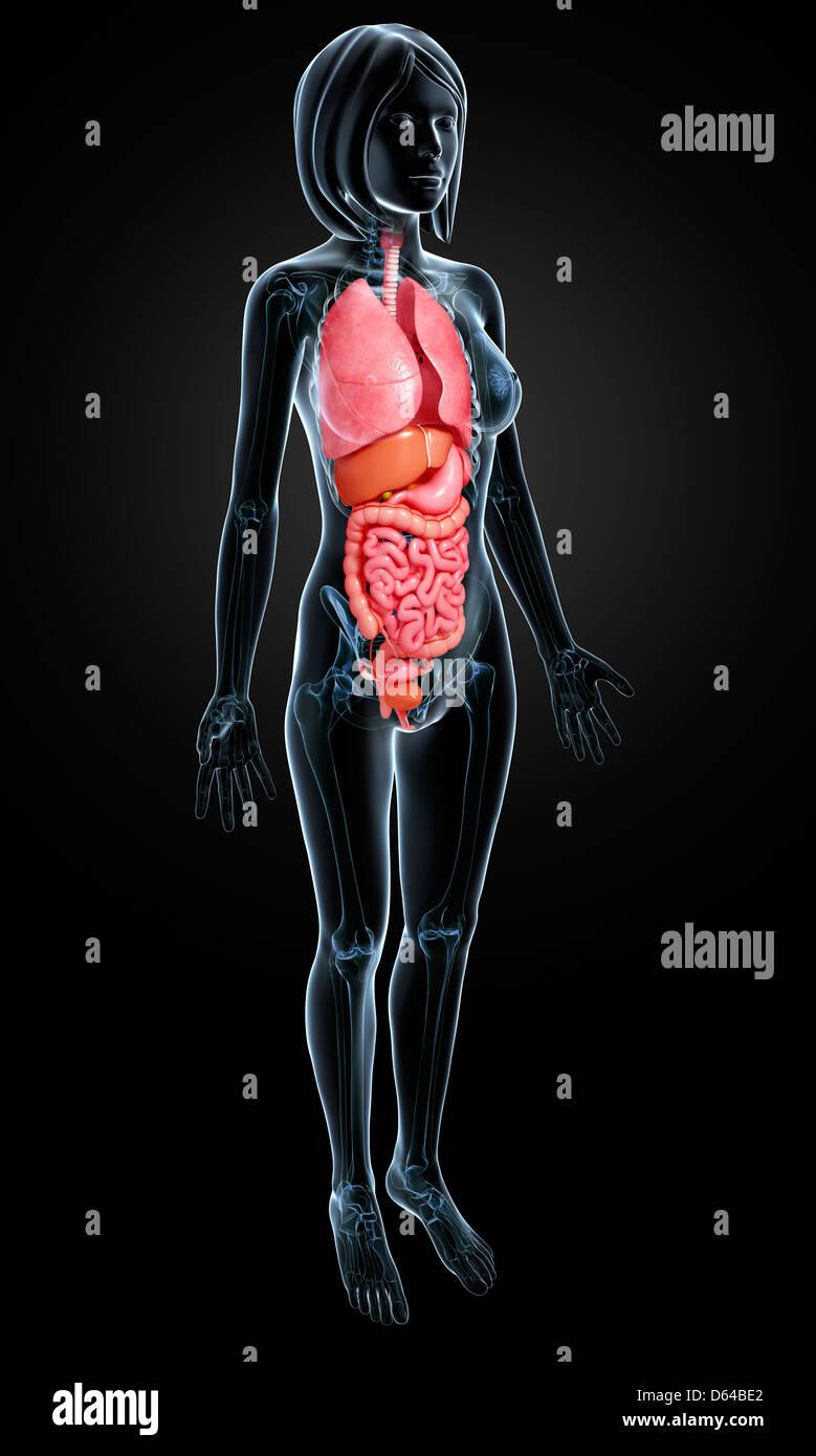 Weibliche Anatomie, artwork Stockfoto, Bild: 55415866 - Alamy