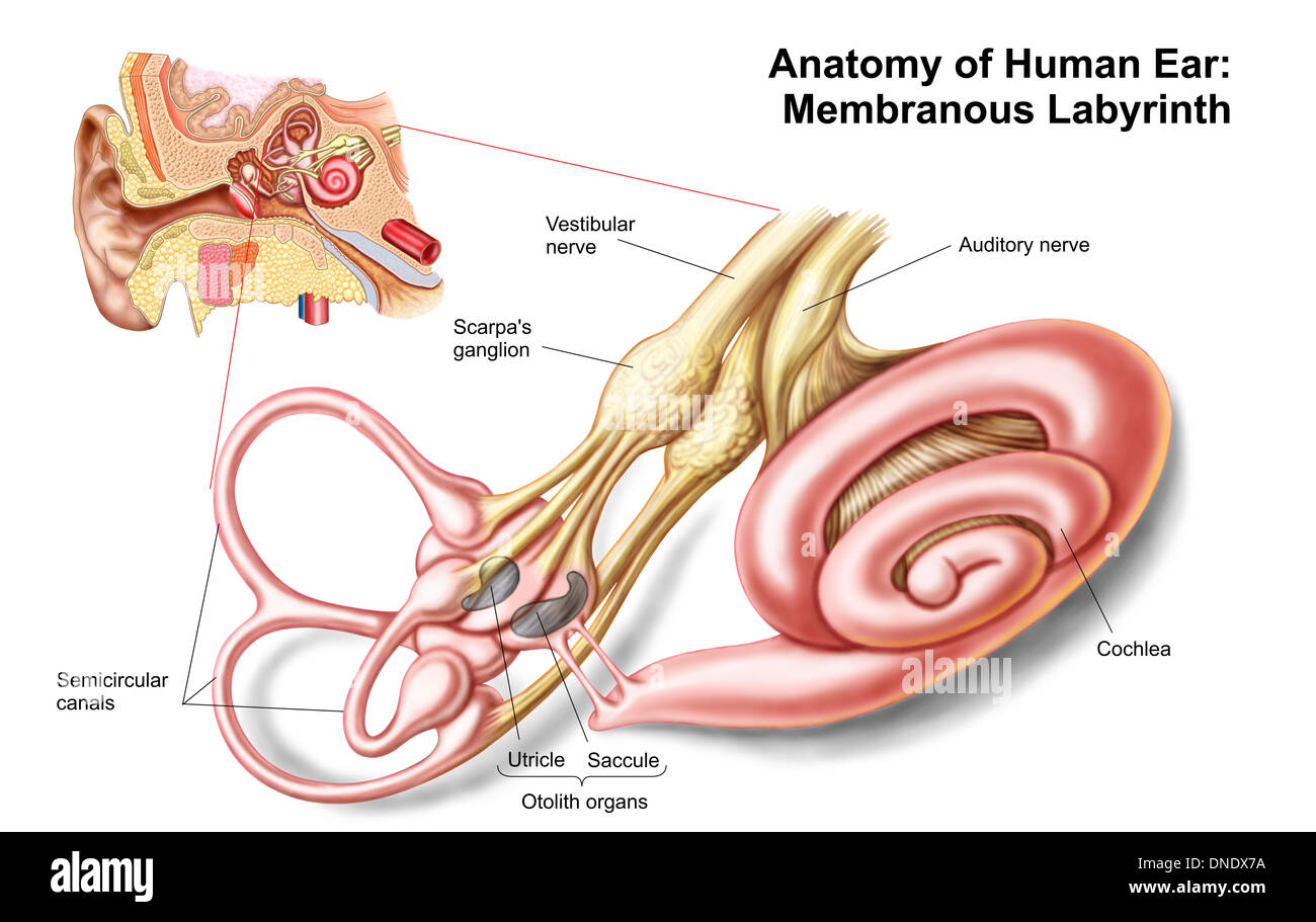 Anatomie des menschlichen Ohres, Membranous Labyrinth Stockfoto ...