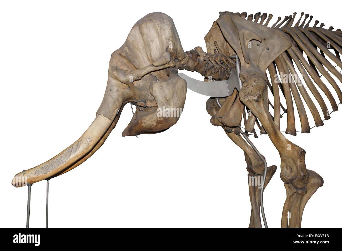 Asiatischer Elefant Skelett Stockfoto, Bild: 102587223 - Alamy