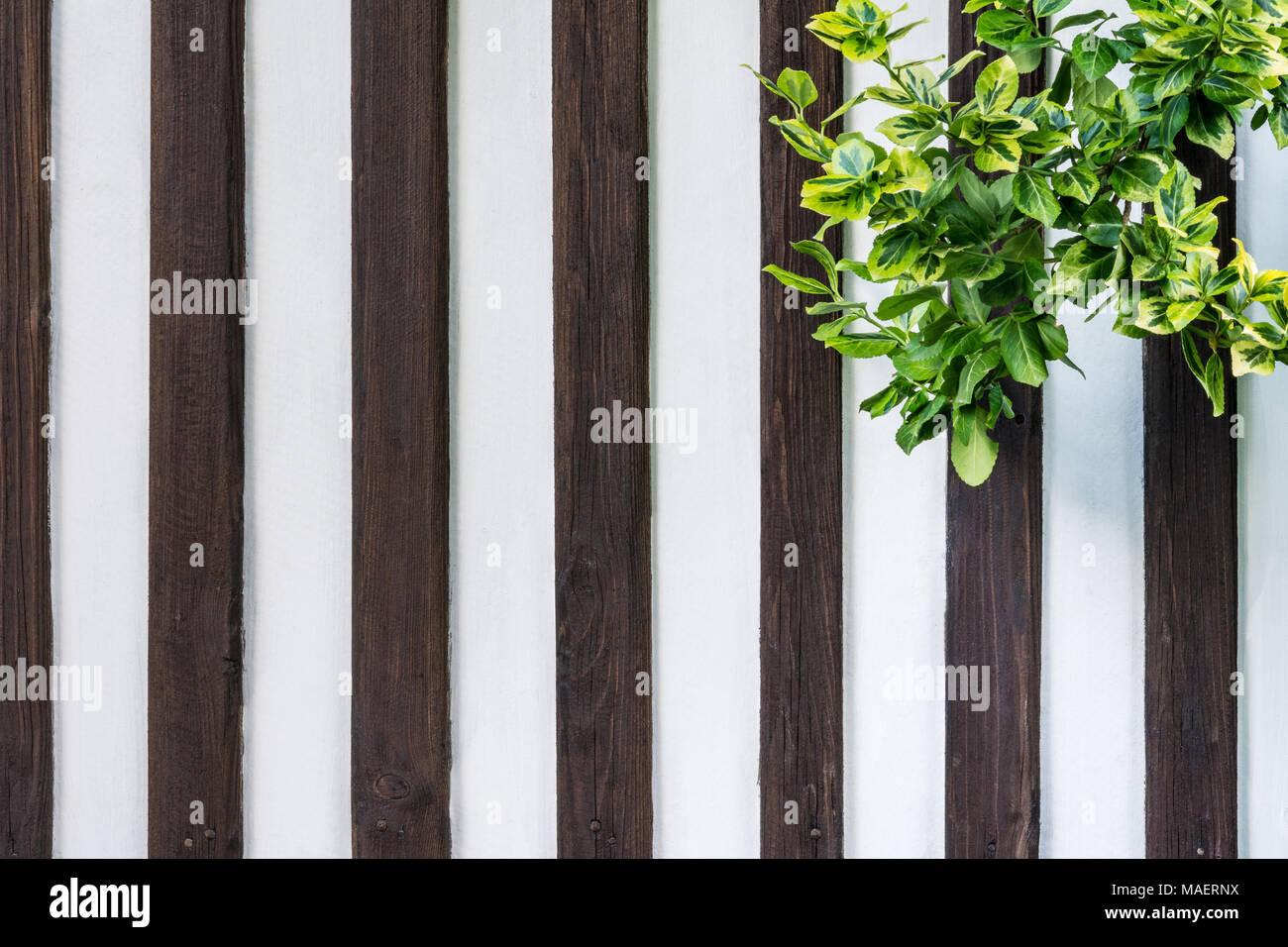 Holz Wand Mit Climbing Ivy Hedera Weissen Zaun Mit Senkrechten