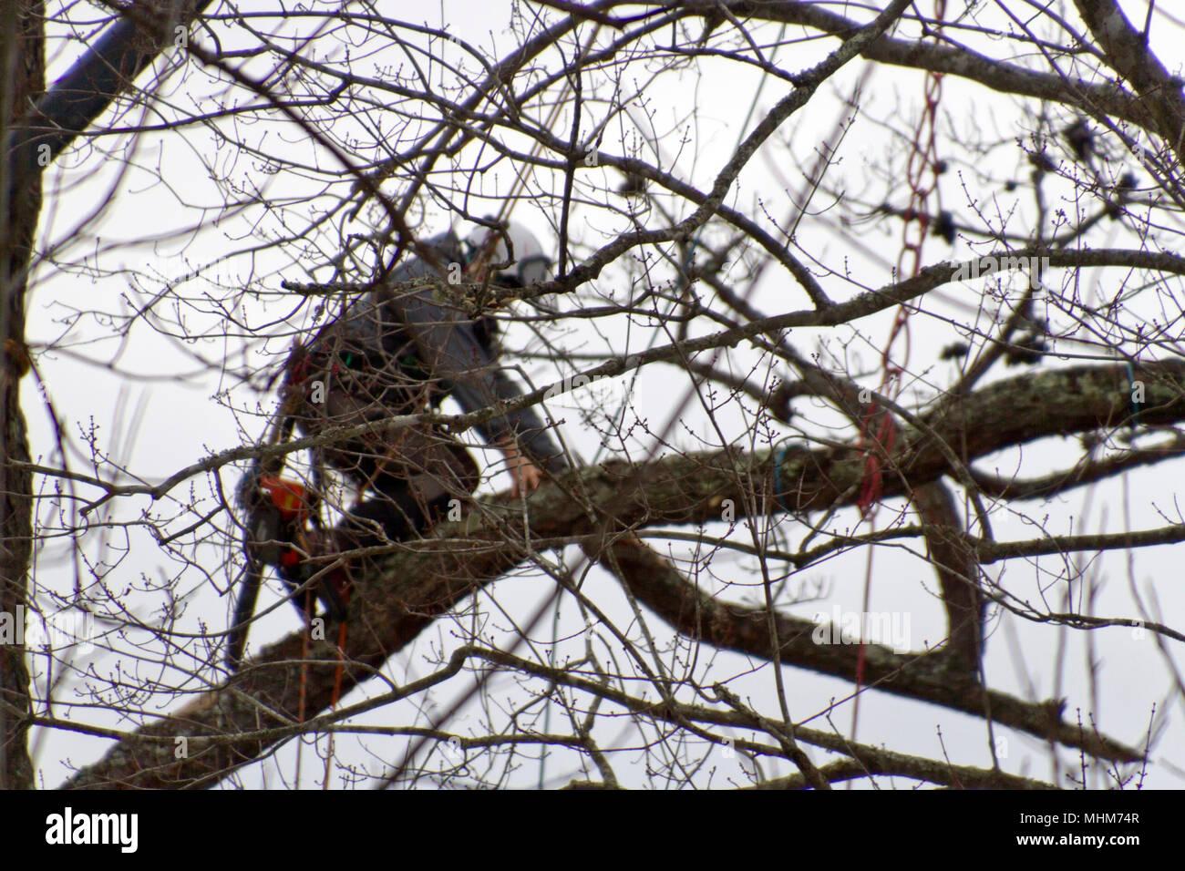 Kletterausrüstung Für Bäume : Eine arbeitsgruppe baumzüchter tragen kletterausrüstung und toting