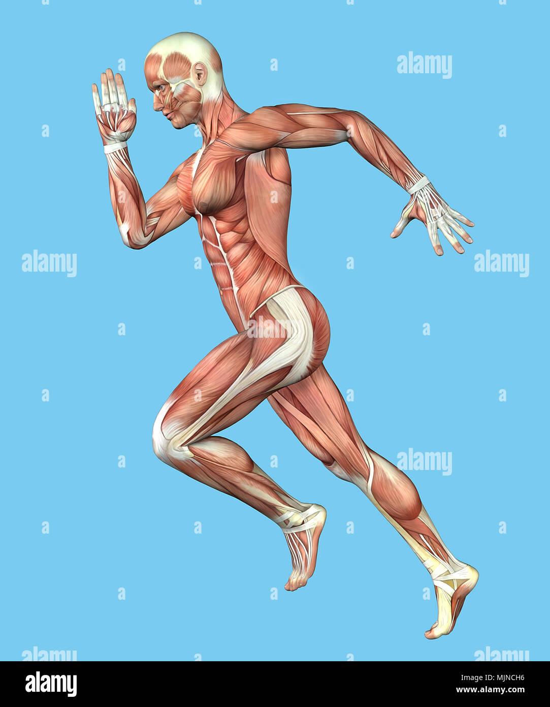 Muskel Anatomie der männlichen in Bewegung Stockfoto, Bild ...