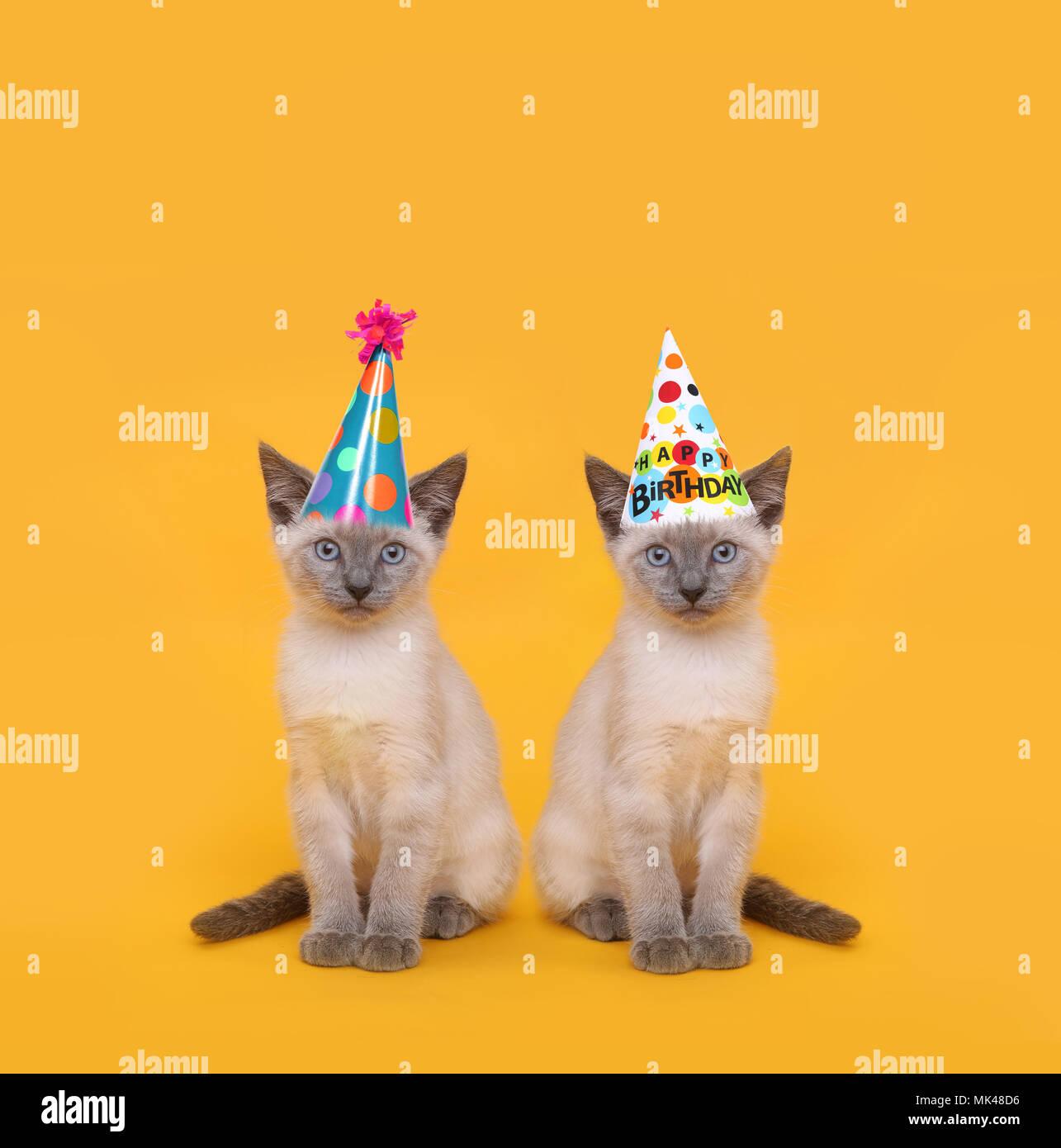 Siam Katzen Tragen Geburtstag Party Hute Stockfoto Bild 183876594