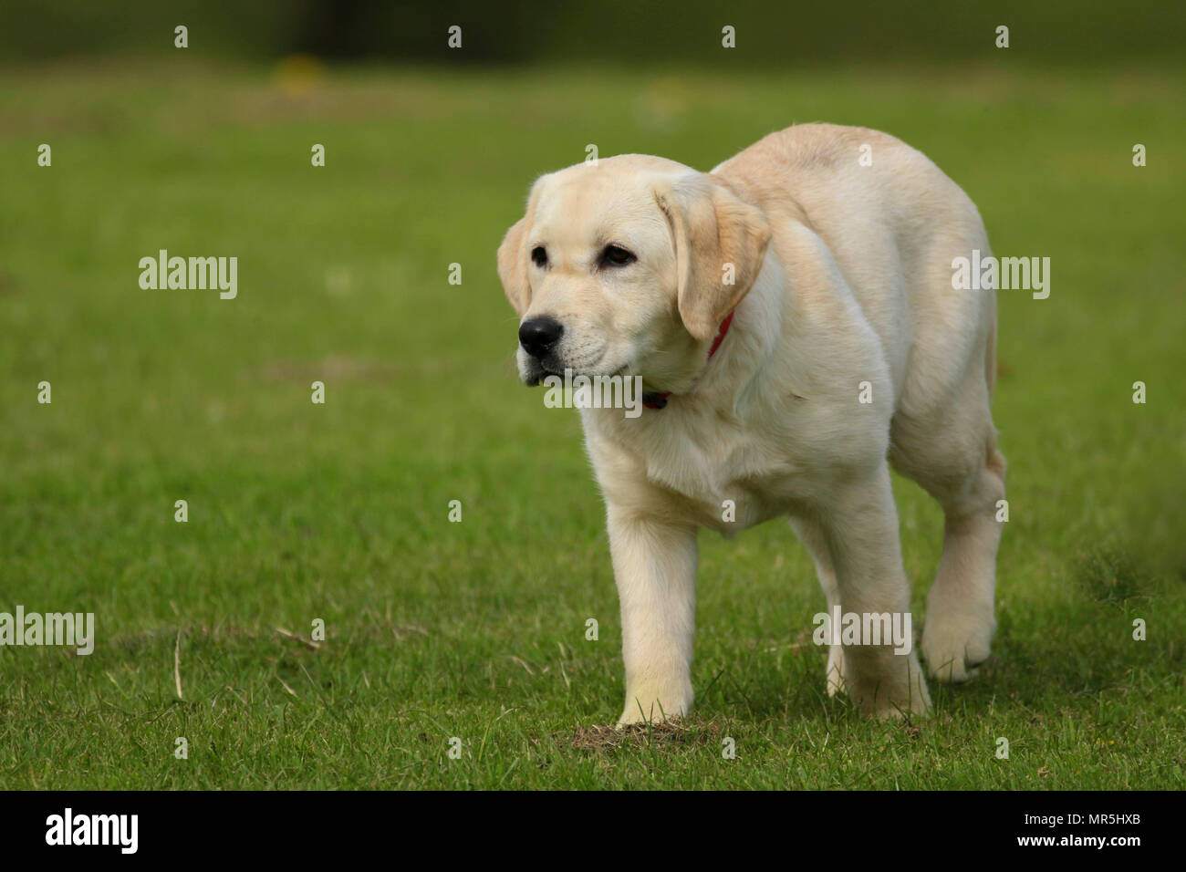 Stammbaum Golden Labrador Welpe Spielen In Einem Feld In Der Uk