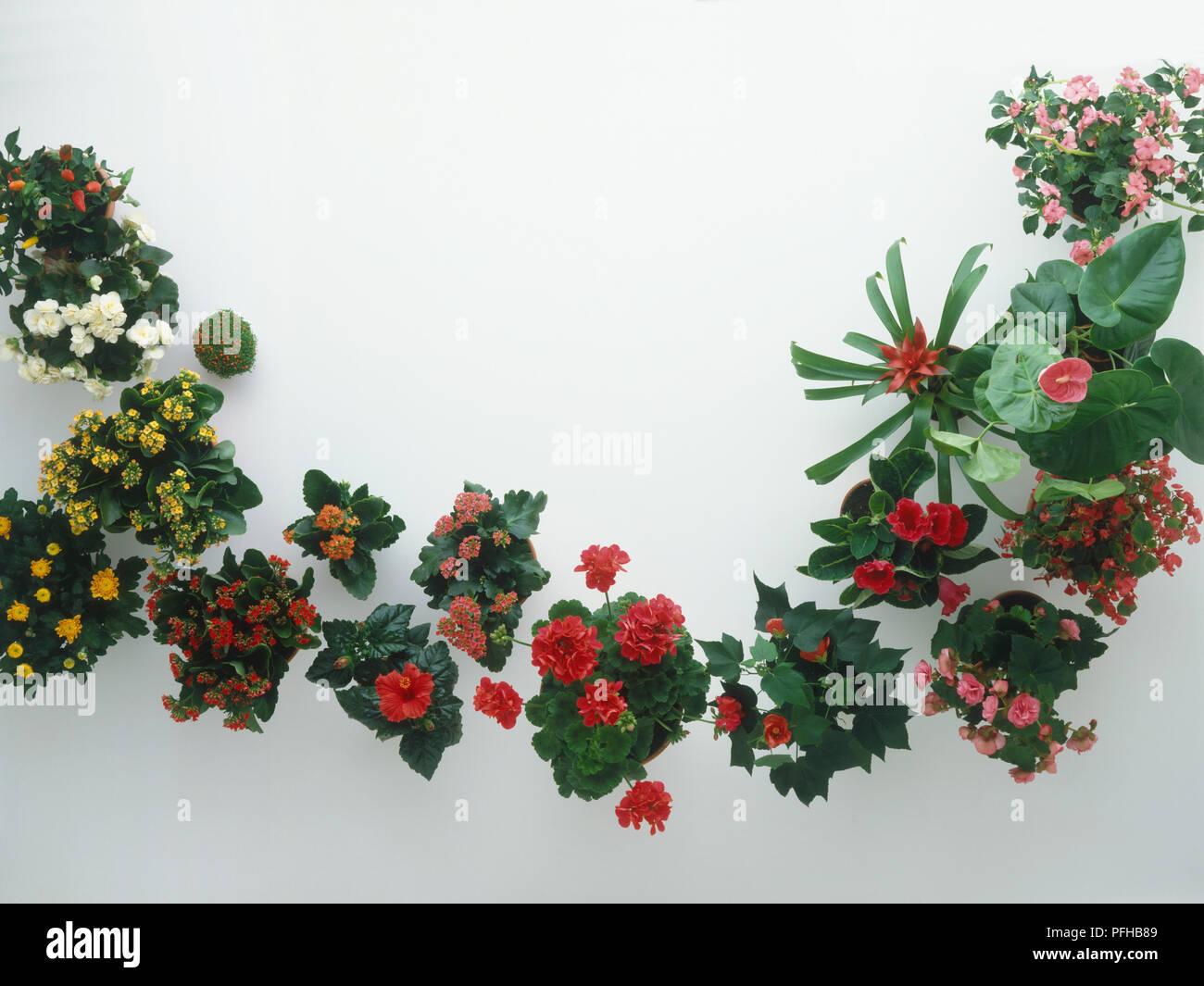 Auswahl Der Bluhende Zimmerpflanzen Einschliesslich Begonia Raupe