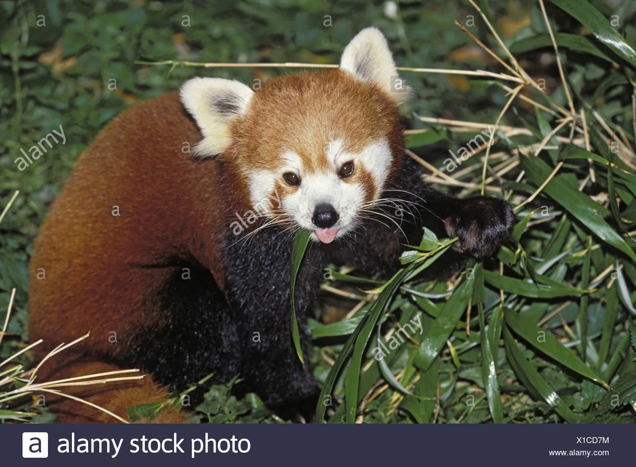 Kleinere Panda Roter Panda Ailurus Fulgens Einzelne Tiere Essen