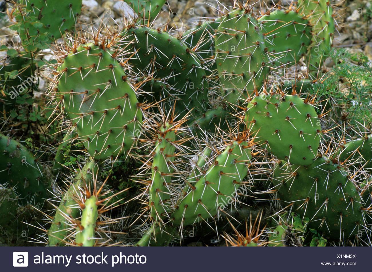 Opuntia Erinacea Var Utahensis Kakteen Sukkulenten Trockenen