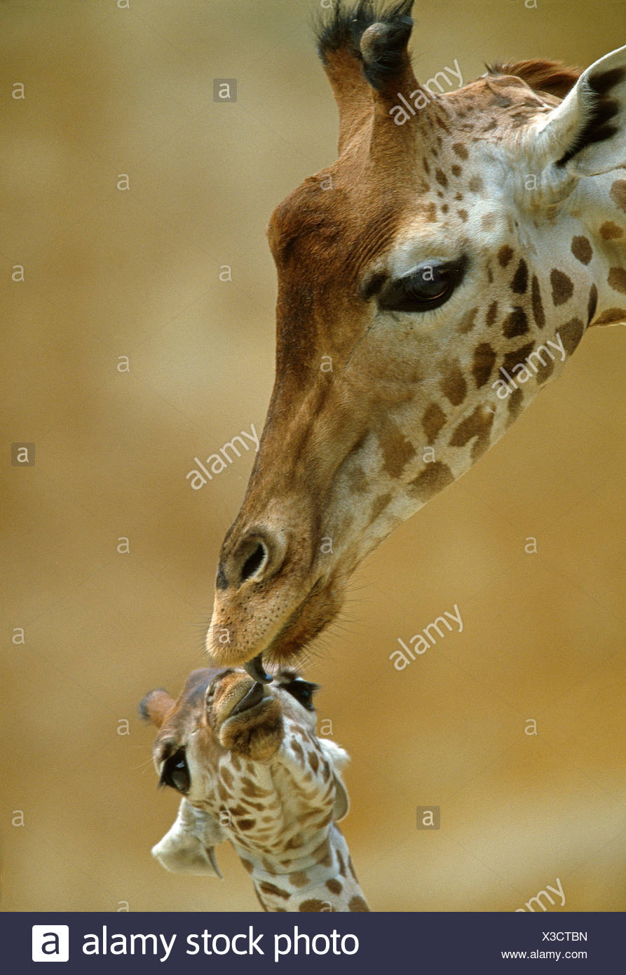 Westafrikanischen Niger Giraffe Giraffa Plancius Peralta Mutter