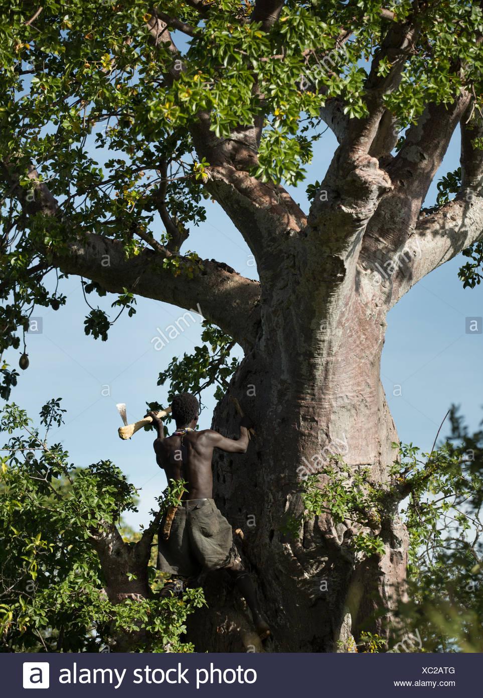 Ein Hadza Mann Klettert Einen Baobab Baum Um Baobab Frucht Die