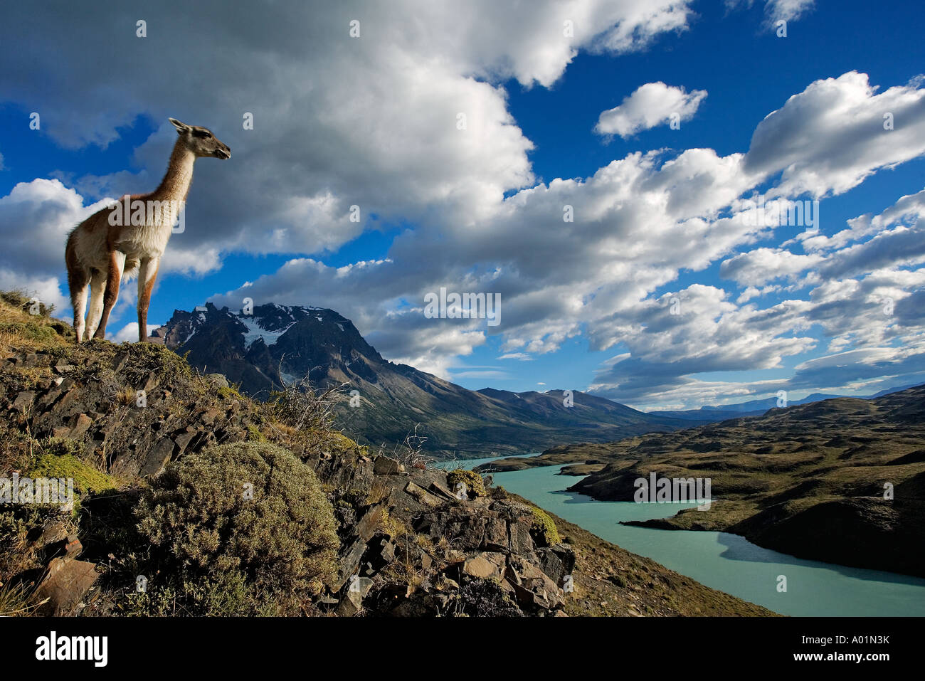 Guanaco Lama Guanicoe Guanako stehen am Hang der Nationalpark Torres del Paine-Chile-Südamerika Stockbild