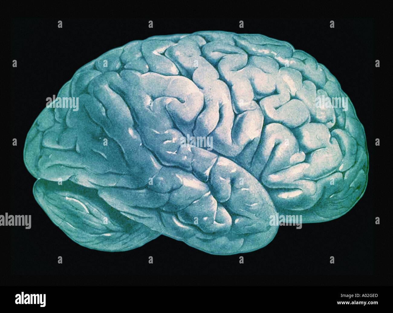 Gehirn-Illustration aus alten menschlichen Anatomie Buch Stockfoto ...