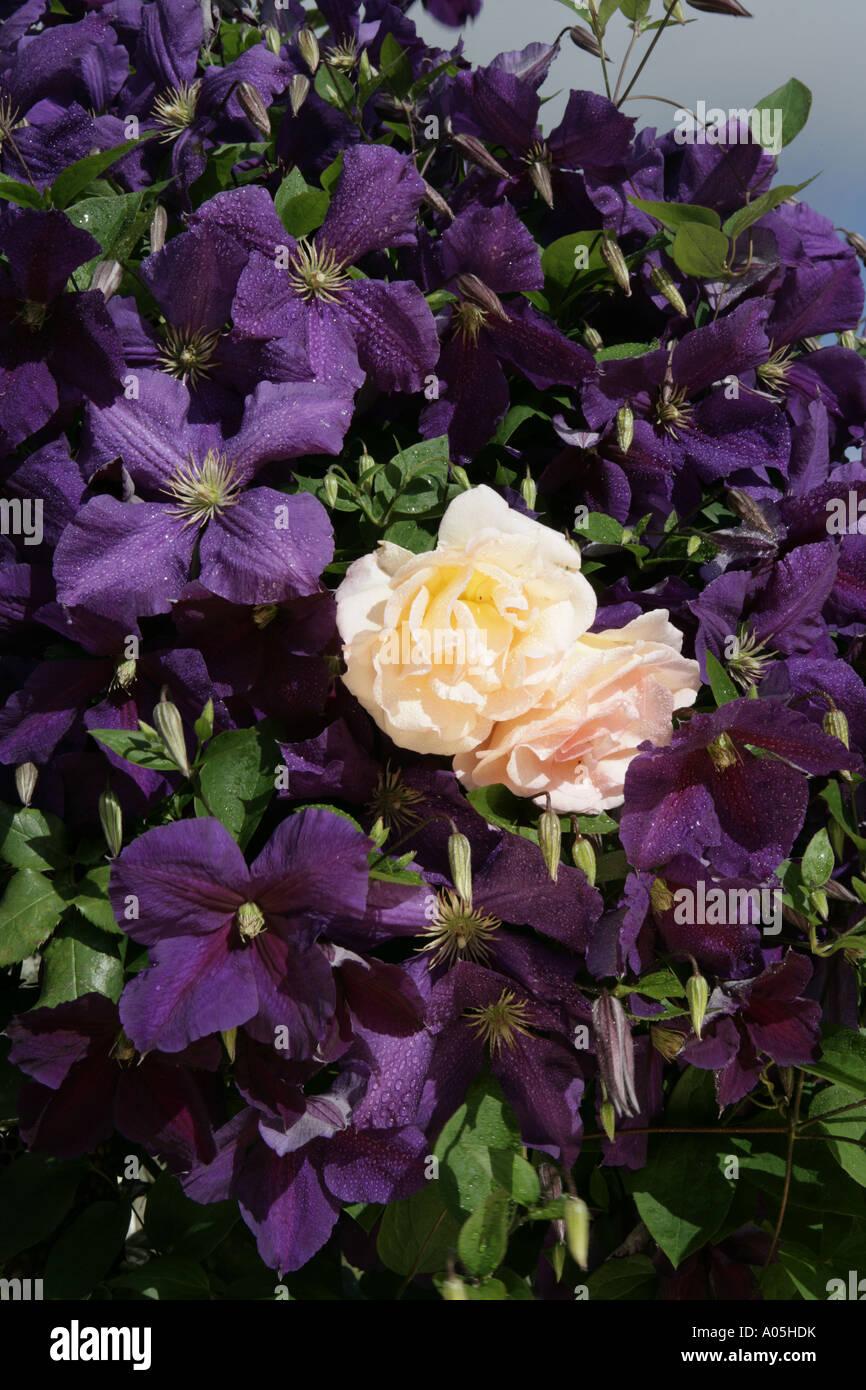 dieser gro e bl hende clematis jackmanii ein climer mit gro en violett lila bl ten mit rose. Black Bedroom Furniture Sets. Home Design Ideas