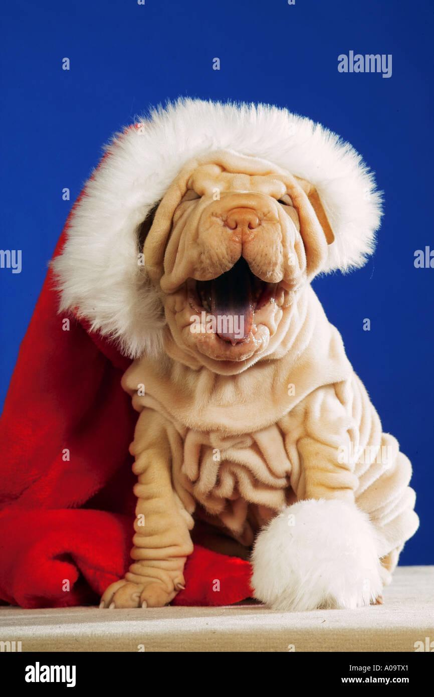 Shar Pei Welpen mit Weihnachtsmann Mütze Stockbild