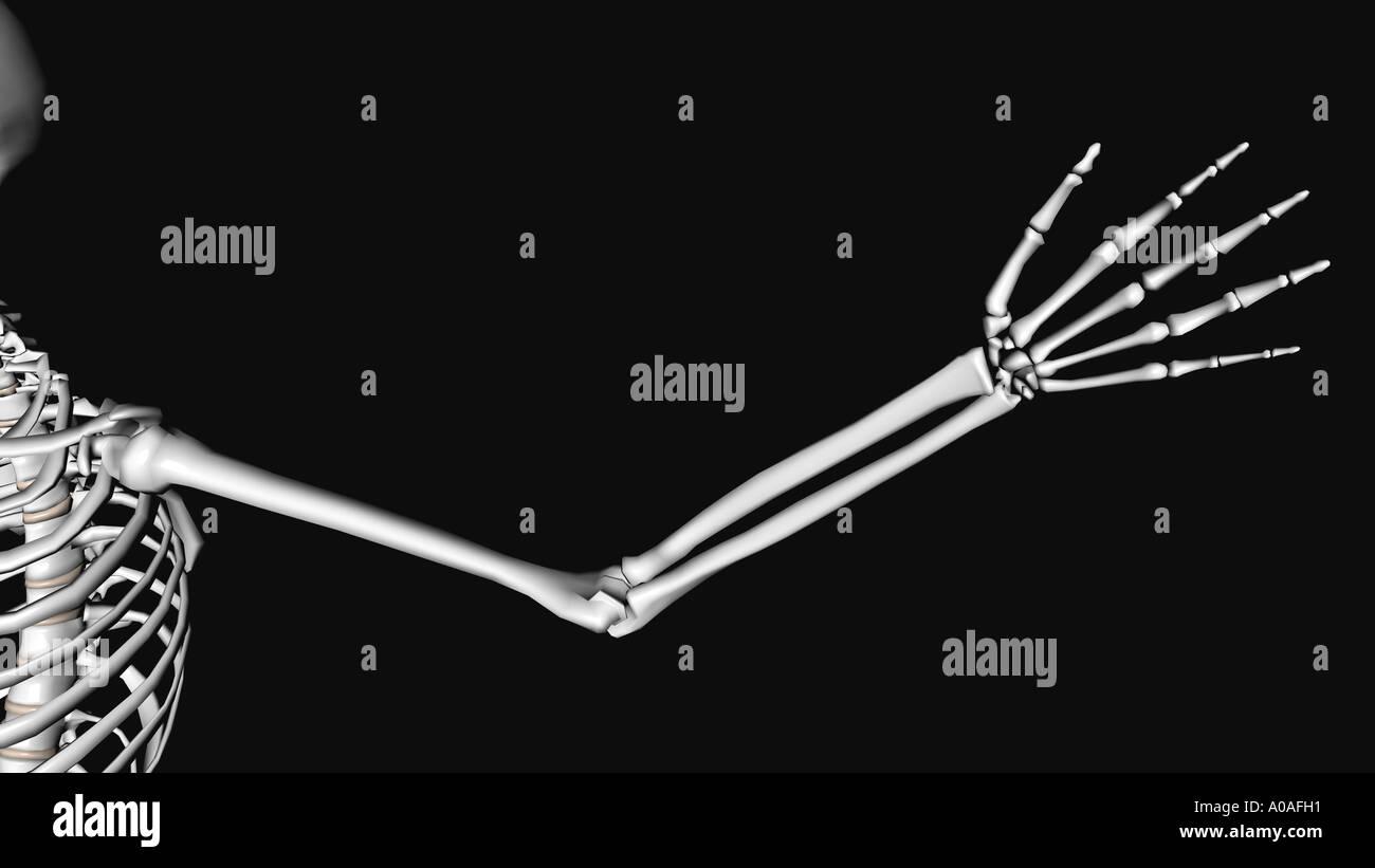 Tolle Diagramm Des Skelettsystems Bilder - Menschliche Anatomie ...