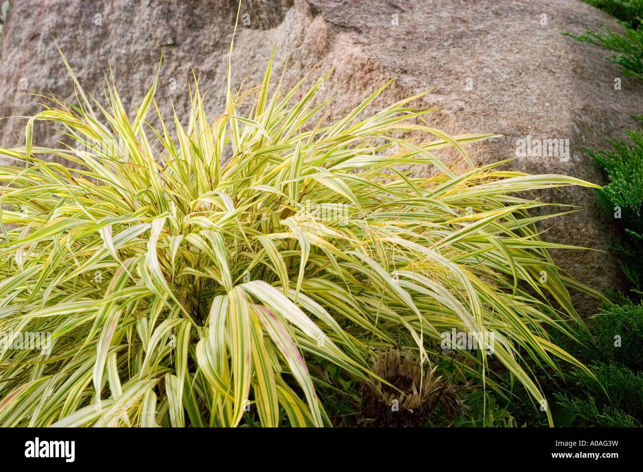 Gelbe Hakone Grasgrün Poaceae Hakonechloa Macra Var Aureola Stockbild