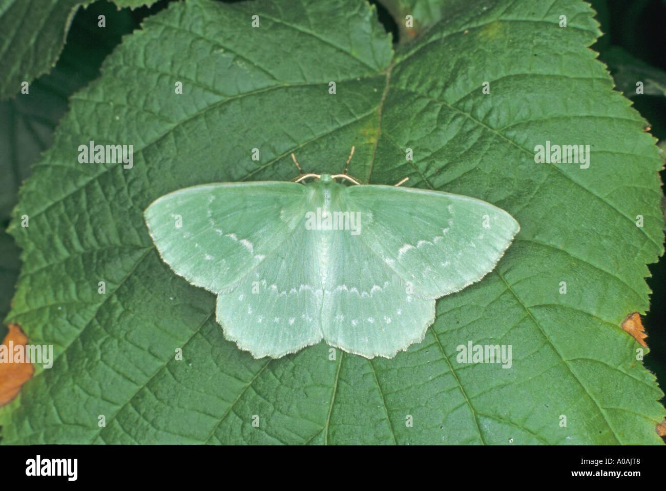 Großer Smaragd Moth Geometra Papilionaria ruht auf Hasel Blatt Norfolk UK Stockbild
