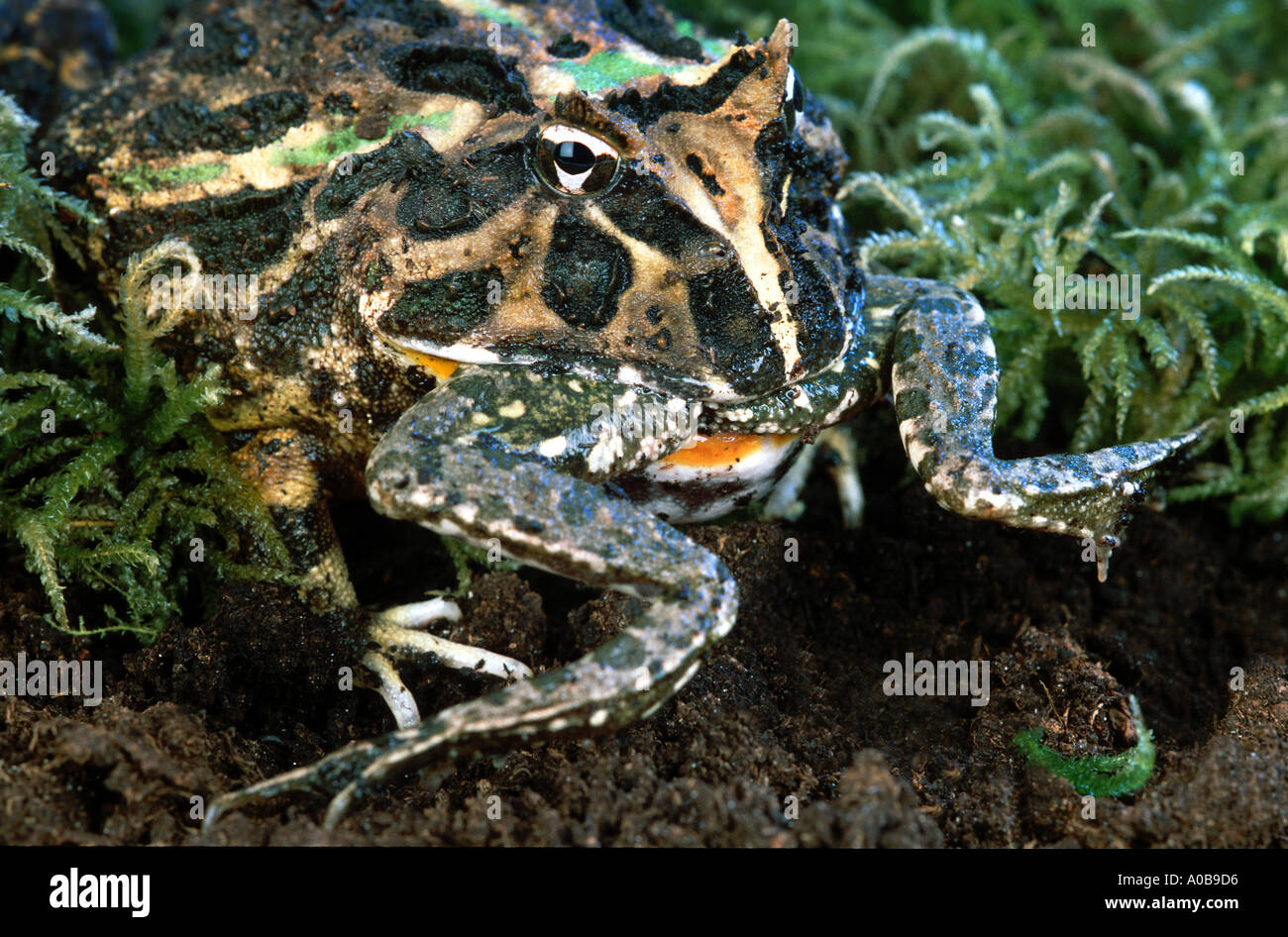 Geh rnte frosch horn frosch ceratophrys ornata essen ein tier der gleichen arten fr sche - Frosch auf englisch ...