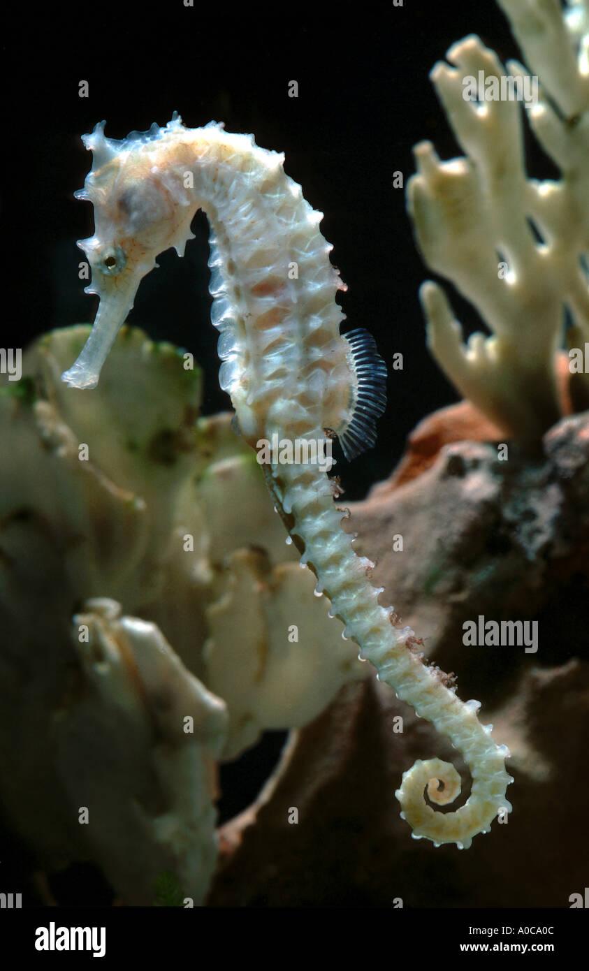 Seepferdchen seepferdchen hyppocampus erectus for Salzwasser aquarium fische