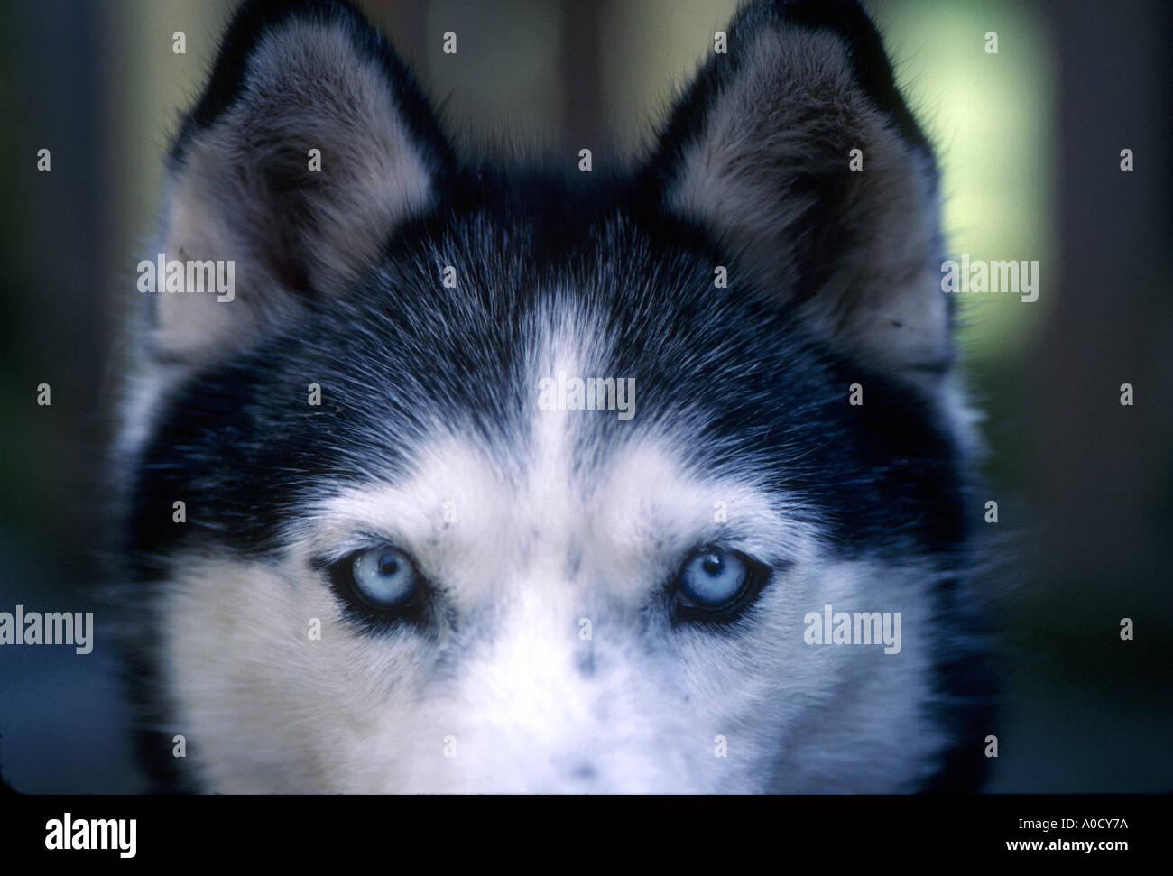 Ungewöhnlich Siberian Husky Ausmalbilder Bilder - Malvorlagen-Ideen ...