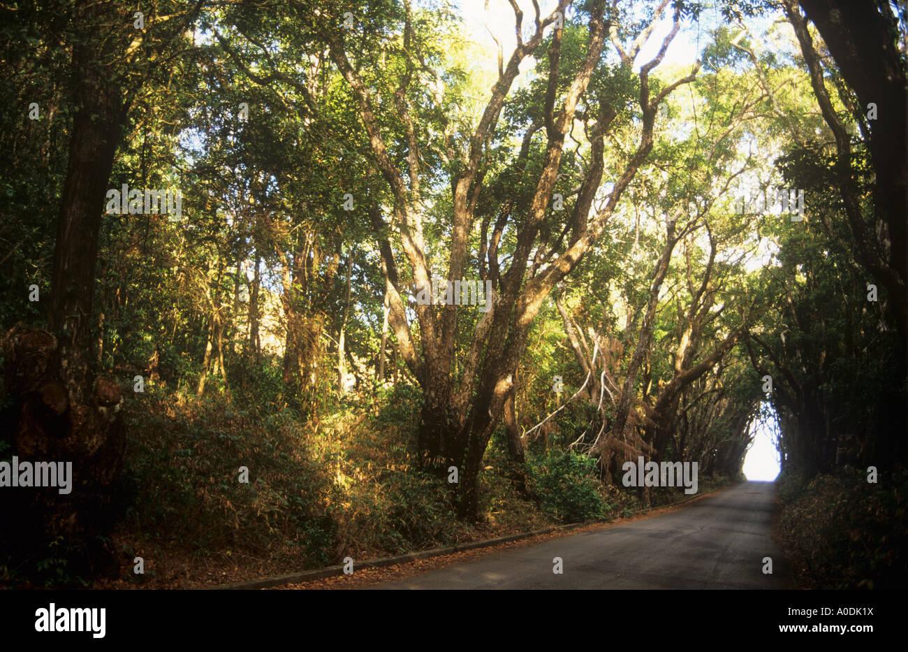 Mahagonibäume  Allee der Mahagonibäume, Cherry Tree Hill, St. Andrew, Barbados ...
