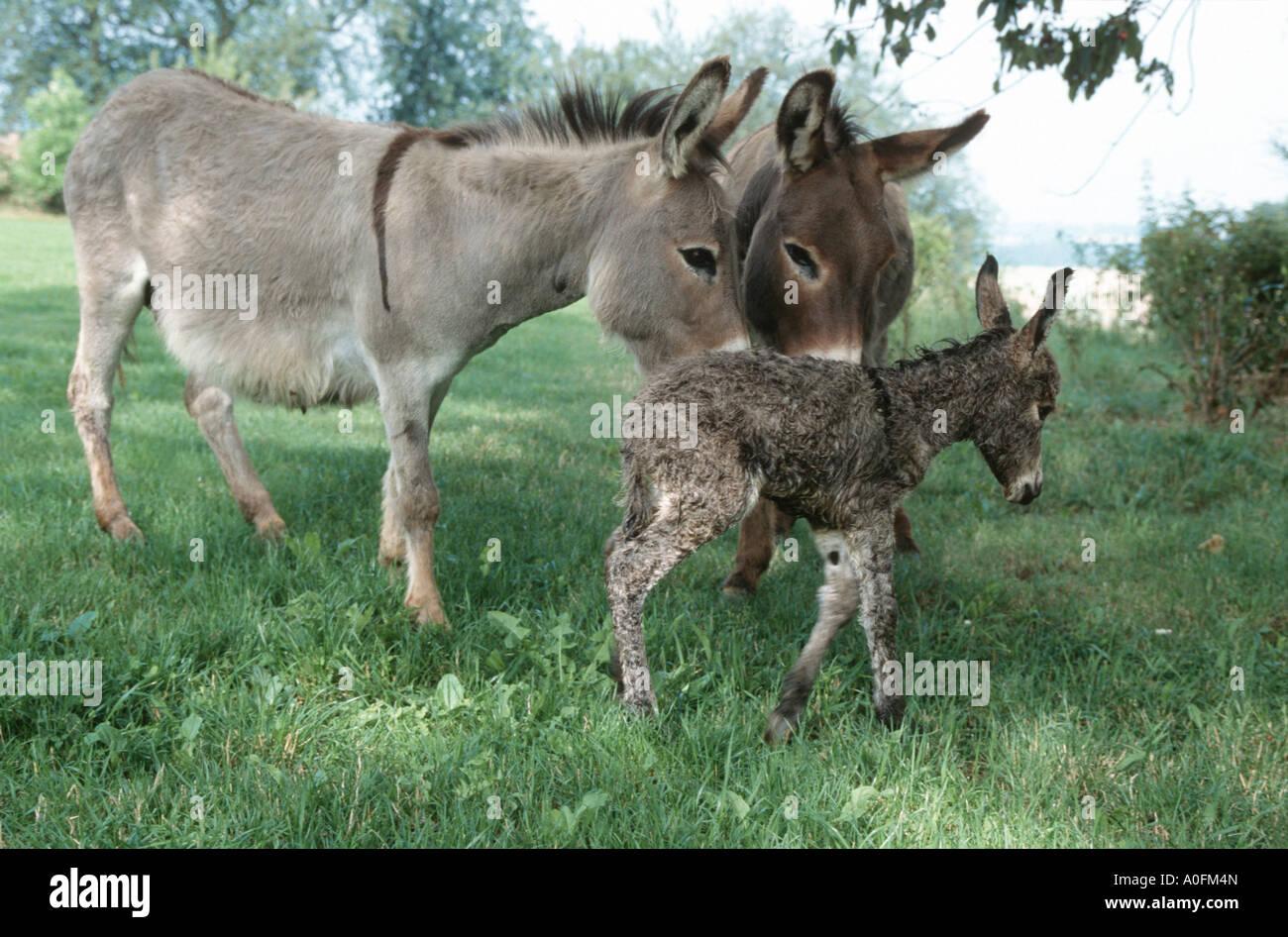 inländische Esel (Equus Asinus F. Asinus), Stute und Hengst mit neugeborenen Fohlen, Deutschland, Niederbayern Stockbild