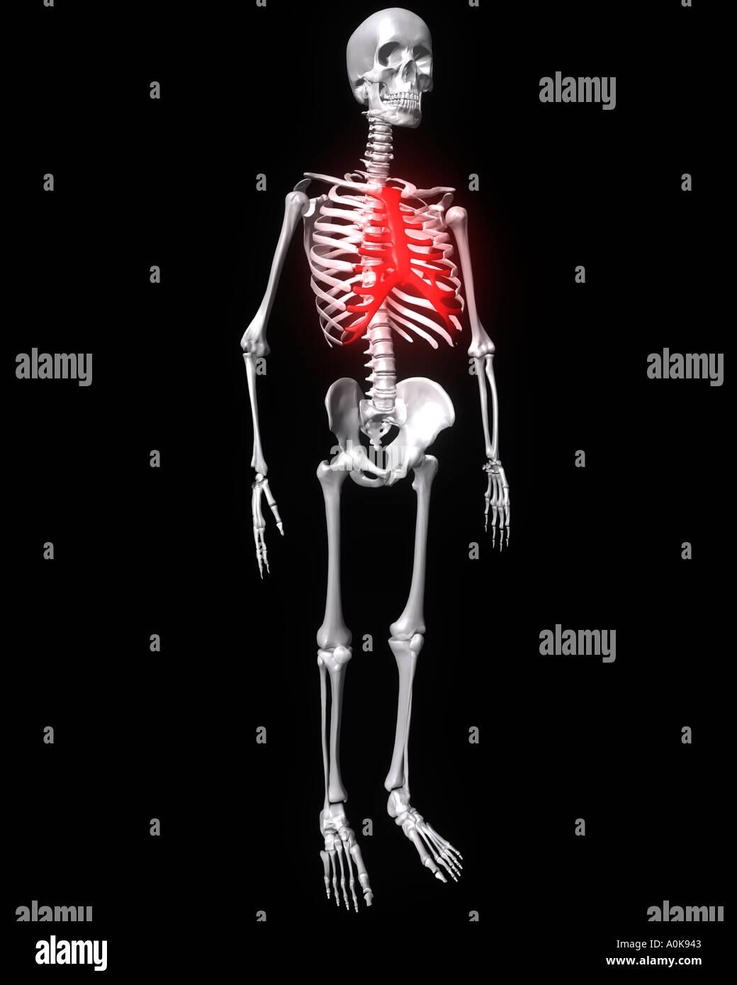 Brustbein auf menschliches Skelett rot hervorgehoben Stockfoto, Bild ...