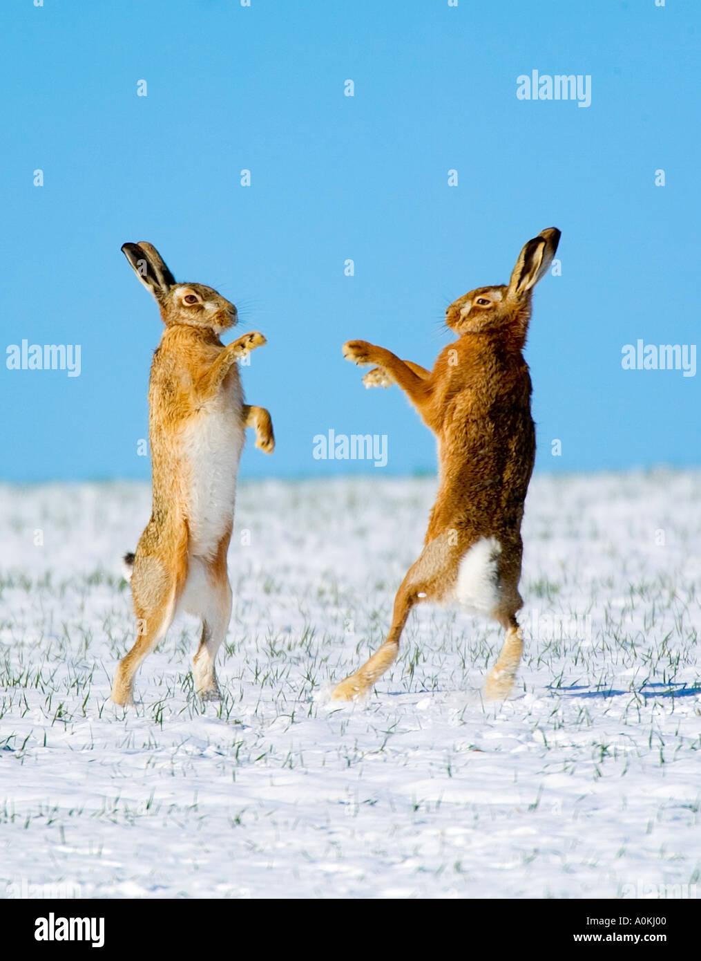 Brauner Hase Lepus Europaeus Boxen im Schnee mit blauem Himmel Therfield Hertfordshire Stockbild