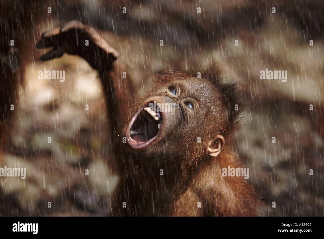 Junger Orang-Utan im Regen Borneo Stockbild