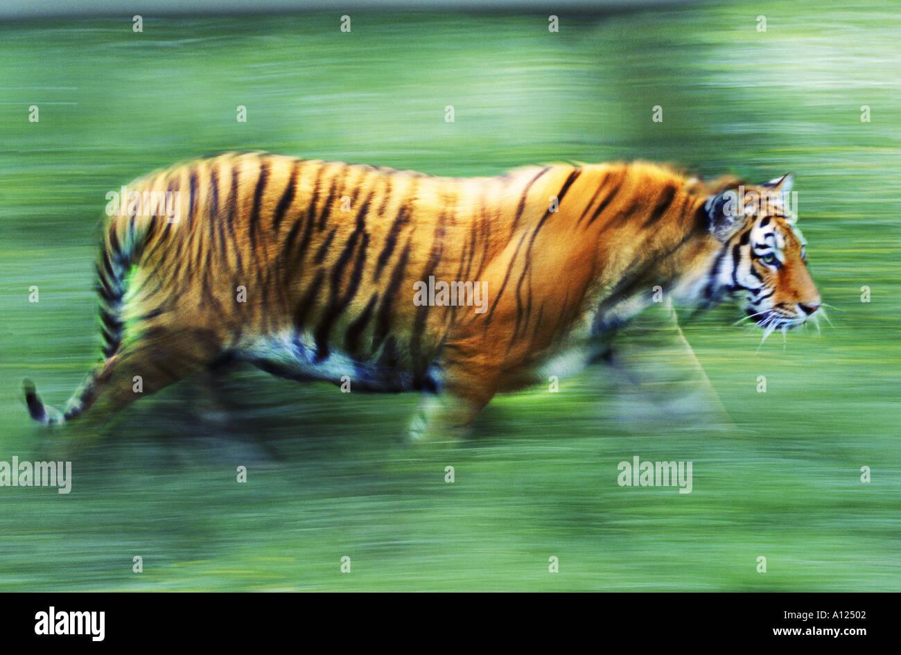 Tiger zu Fuß Stockbild