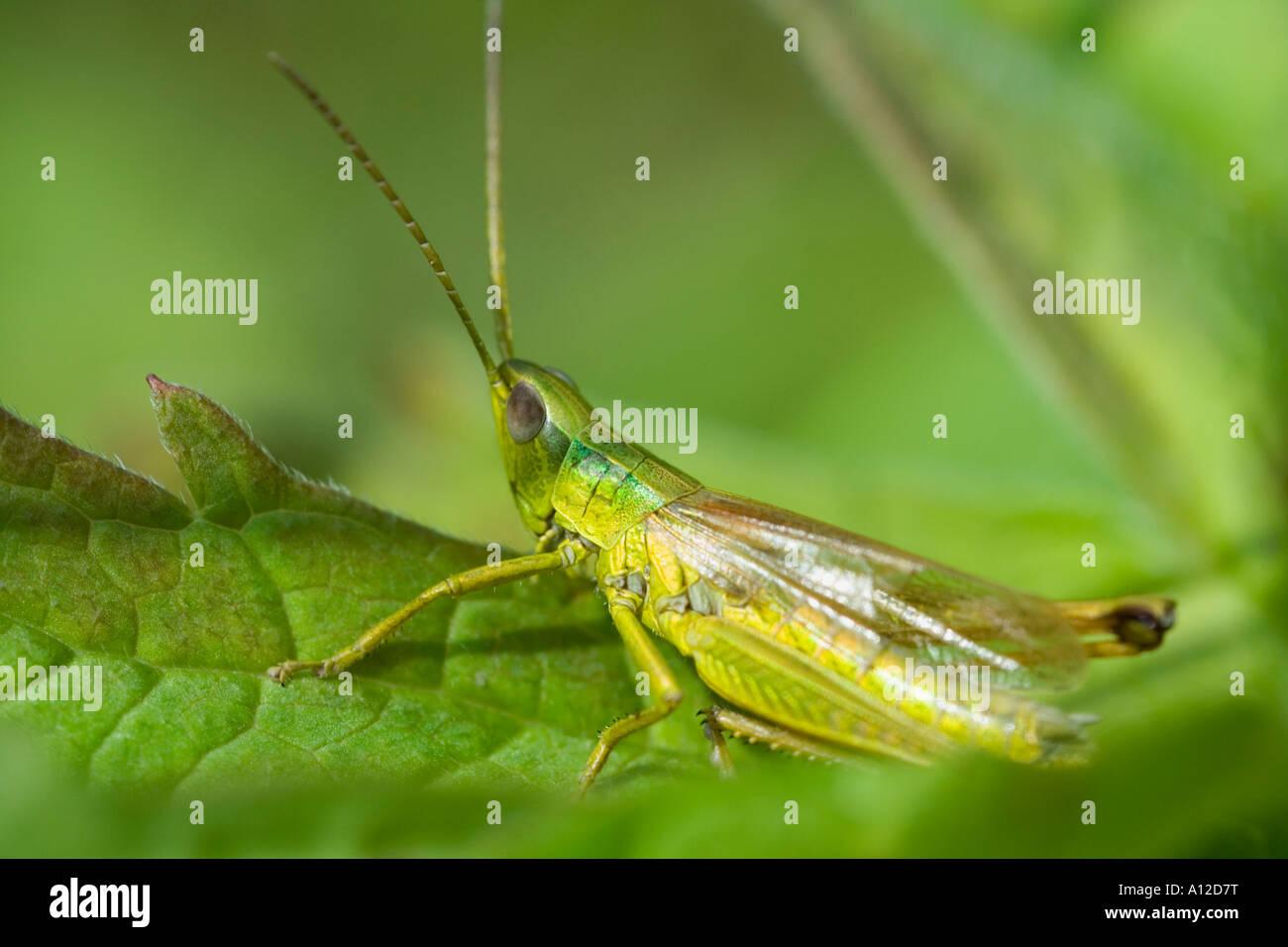 Heuschrecke Oedipoda Caerulescens sitzt auf einem Blatt Stockfoto